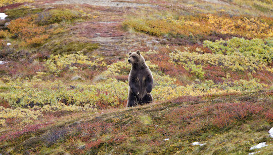 Grizzlybär im Denali-Nationalpark © Michael Heffernan