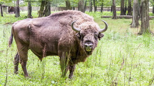 Wisent im Bialowieski Nationalpark, Polen - (Foto: ©parys/Getty Royalty Free)