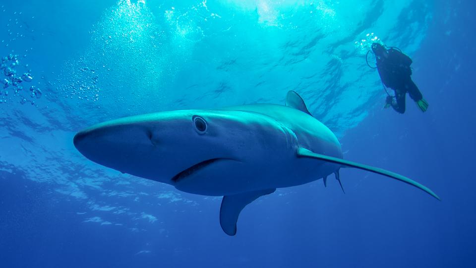Atlantik Haie